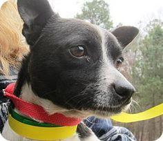 Manhattan, NY - Chihuahua/Rat Terrier Mix. Meet Parker, a dog for adoption. http://www.adoptapet.com/pet/12480769-manhattan-new-york-chihuahua-mix