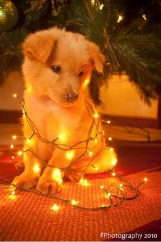 Untangling Christmas lights can be a ruff job! - My Doggy Is Delightful Super Cute Puppies, Cute Baby Dogs, Cute Little Puppies, Baby Animals Super Cute, Cute Dogs And Puppies, Cute Little Animals, Cute Funny Animals, Doggies, Adorable Puppies