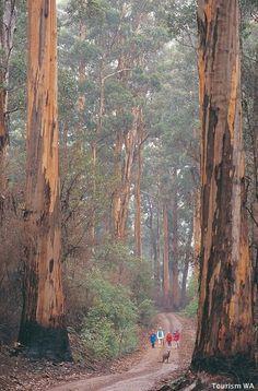 Hikers dwarfed by towering karri trees - south west corner of Western Australia