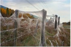 Australian Town Completely Covered in Cobwebs after Millions of Spiders Rain from the Sky | Oddity Central - Collecting Oddities