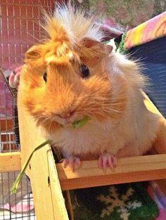 Look at this freaking cute Guinea Pig