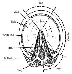 Parts of the bottom of a horses foot-Think Like a Horse-Rick Gore Horsemanship ®