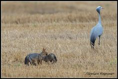 A blue crane and two Cape foxes