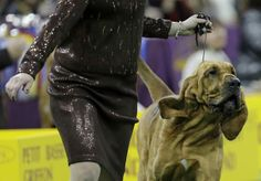 New York - Parade of pooches at Westminster - Pictures - CBS News...Bloodhound!