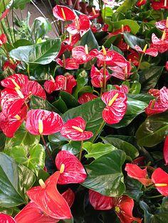 Un anthurium pour la Saint-Valentin   Avec ses grandes fleurs (spathes plus exactement) en forme de coeur rouge vif brillant, cet anthurium est la potée fleurie idéale pour ce jour de fête des amoureux.     http://www.pariscotejardin.fr/2013/02/un-anthurium-pour-la-saint-valentin/