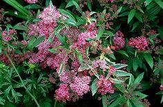 RHS Plant Selector Spiraea japonica 'Anthony Waterer' (v) / RHS Gardening
