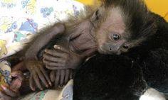 """""""O Grito do Bicho"""": Veterinários dizem que macacos e micos que estavam..."""