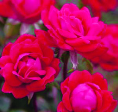 June Flower of the Month – Rose Awesome gardening ideas at farmersme.com