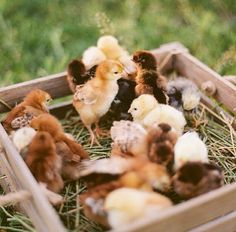 Sweet spring chicks.