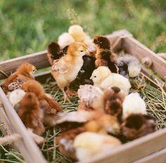 Sweet spring chicks.