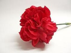 Red Carnation - pride/fascination/heart ache