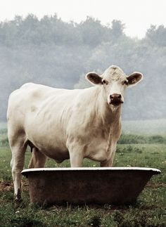 beautiful cow