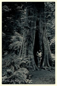 A woman stands in the hollow of a giant western red cedar tree