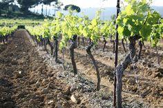 Vines, Languedoc-Roussillon
