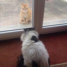 Molly's bestfriend #mollypetitcoeur #molly #cat #castagram #catfriend #redcat #turkishcat #instacat #letstalk #followme #loveme