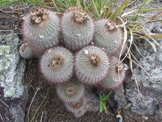 Parodia scopa. Silver Ball Cactus. South American native. Ball/clumping shape. Varieties: (succinea) - yellow spines.