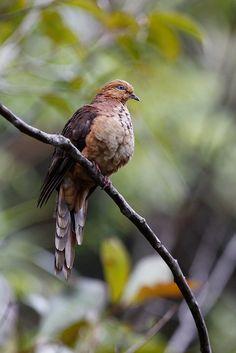 Little Cuckoo-dove, Rafflesia Center, Borneo, @ Marcel Holyoak