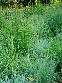 Big bluestem Andropogon gerardii A key plant in US prairies w/ attractive blue-green foliage. in fall, it takes on golden, red & purplish hues, complementing the rosy forked seed heads. Thrives in poor, dry soils & in full sun. Sun Perennial From 3 to 20 feet tall 2-3 feet wide Flower Color: Pink Foliage Color: Blue/Green Colorful Fall Foliage, Fall Bloom, Summer Bloom, Winter Interest Deer Resistant, Drought Tolerant, Good For Privacy, Groundcover Good for Containers, Low Maintenance Zones…