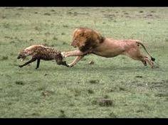 Bildergebnis für hyena vs lion