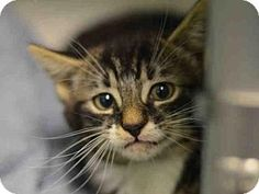 Brooklyn, NY - Domestic Shorthair. Meet LINKIN, a kitten for adoption. http://www.adoptapet.com/pet/15760611-brooklyn-new-york-kitten