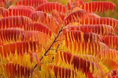 A Staghorn Sumac shurb displaying its autumn colours at the Royal Horticultural Society Garden in Wisley