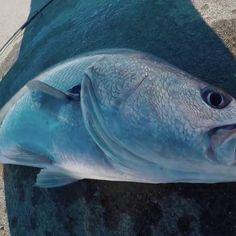 https://www.youtube.com/watch?v=7K_9rLTVu1w #fishing #flyfishing #fishinglife #fishingtrip #fishingboat #troutfishing #sportfishing #fishingislife #fishingpicoftheday #fishingdaily #riverfishing #freshwaterfishing #offshorefishing #deepseafishing #fishingaddict #lurefishing #lovefishing #fishingboats #instafishing
