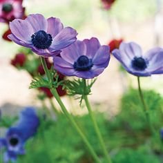 poppy-flowered anemone - when to plant, how to grow