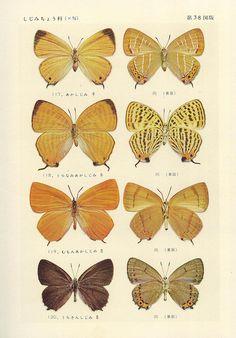 papillon 38