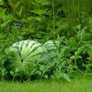 The Best Time to Plant Watermelon Seeds | eHow
