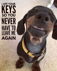 """Dachshund meme - """"I ate your keys so you never have to leave me again. meme - """"I ate your keys so you never have to leave me again. Funny Dog Memes, Funny Animal Memes, Cute Funny Animals, Cute Baby Animals, Funny Dogs, Pet Memes, Funny Minion, Animal Jokes, Dachshund Quotes"""