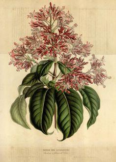 Fuchsia arborescens, var. syringæflora