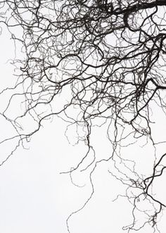 Sharp Contrast | Black And White | Art | White Background | Tree Branches
