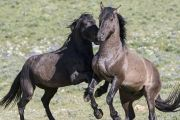 Wild horses, mustangs, in Pryor Mountains, MT - two stallions play Crochet Box Stitch, Books To Buy, Wild Horses, Mustangs, Fine Art Prints, Play, Mountains, Stuff To Buy, Animals