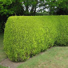 Leylandii conifer hedging