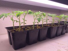 old tomato seedlings i have been raising under the grow light. Will start hardening off soon. Tomato Seedlings, Grow Lights, Raising, Tomatoes, Hawaiian, Tropical, Plants, Flora, Plant