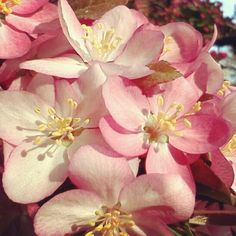 Crab apple blossoms in the backyard