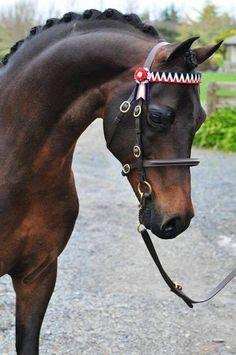 (97) NZ Pony Stallions at Stud