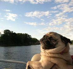 Pug enjoying the wind in his wrinkles.
