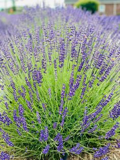 Look at all those happy bees pollinating the lavender! Plant flowers such as lavender to support our world's pollinators!