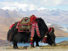 Places ◕‿◕n Earth | Tibet, a beautifully dressed yak