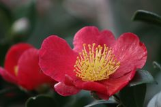 Yuletide Camellia -- Single, brilliant red blooms centered with bright yellow stamens make an elegant statement. Filtered sun. Midseason. Zone: 7 – 10