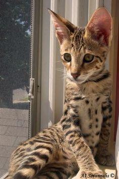 ♥CG♥ 143 Savannah Kitten