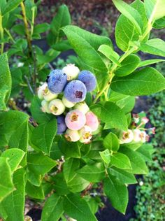 MY BLUEBERRY PLANT HAS NUMEROUS BERRIES IN THE SUMMER OF 2014