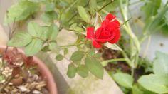 Flor jardim rosa vermelha botão de rosa