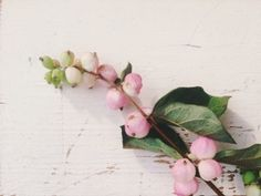 Pink snowberry plant left side of parking near cat house