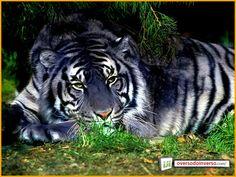 Tigre Maltês (Panthera tigris) Tigre Azul