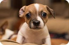 Pictures of Preston a Chihuahua Mix for adoption in Santa Fe, TX who needs a loving home.