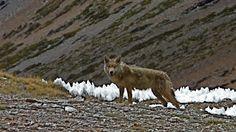 El lobo del Himalaya en necesidad de protección