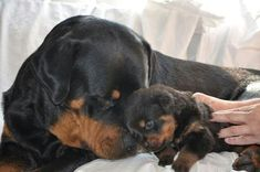 Adult rottweiler & pup