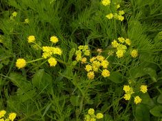 The Health Benefits of Lomatium See more at http://www.greenlifestylemarket.com/blog/the-health-benefits-of-lomatium/